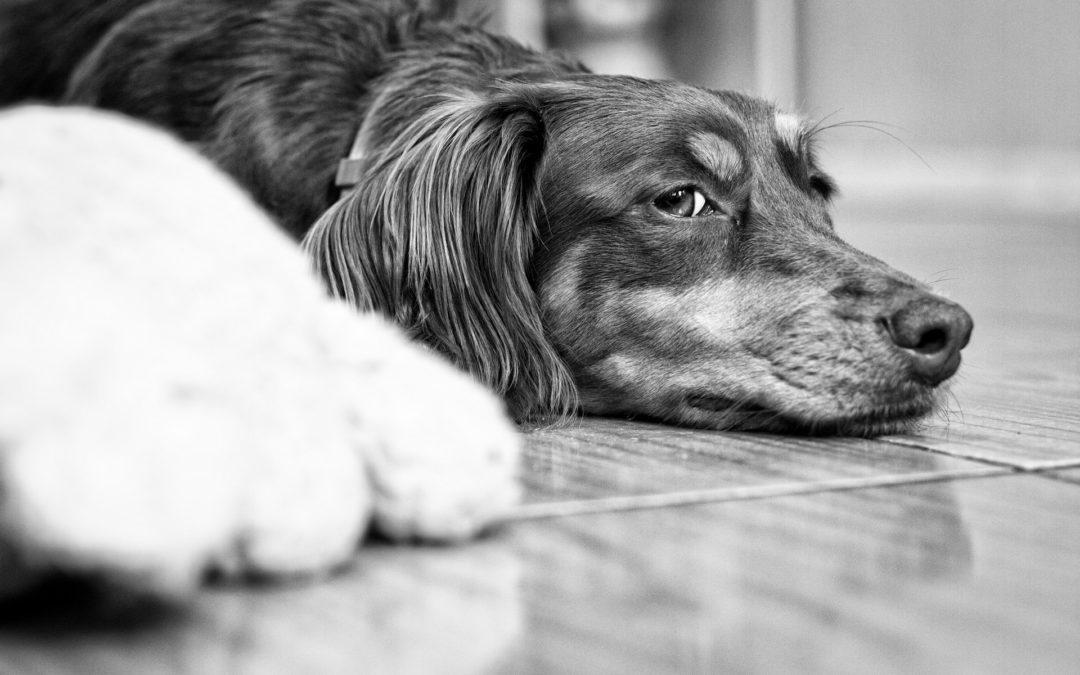 Cukrzyca psów